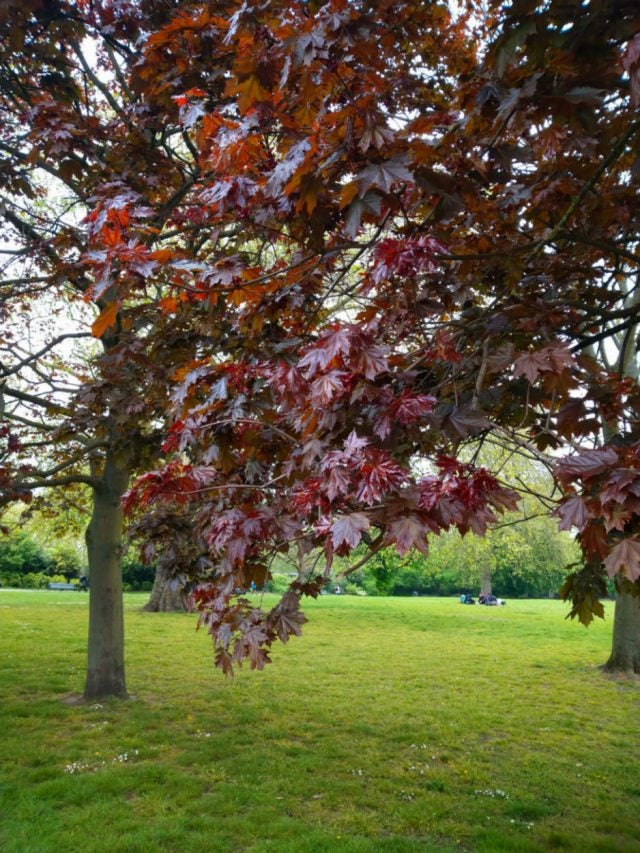 sony xperia 10 review red leaves on tree and green grass