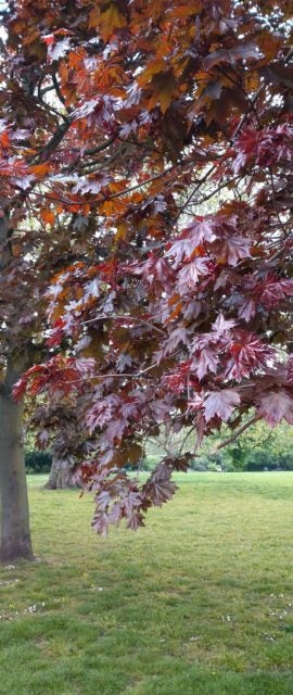 Sony xperia review red leaves on tree green grass