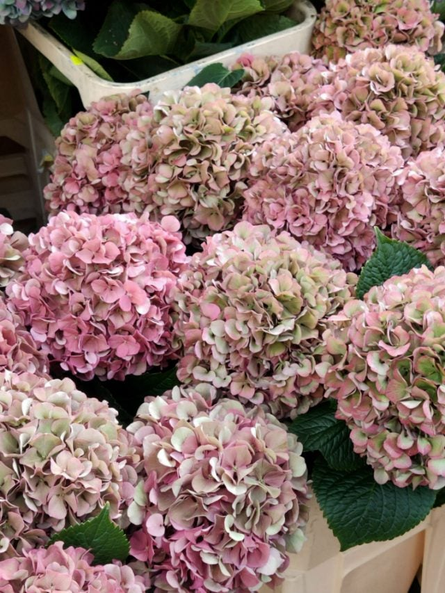 hydrangeas at columbia road flower market