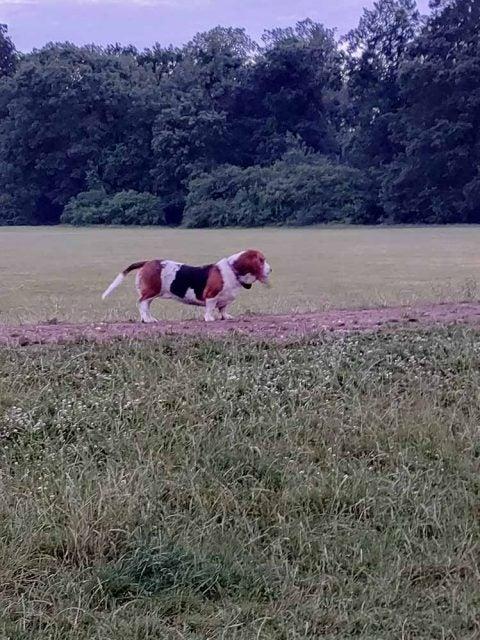 basset hound in park