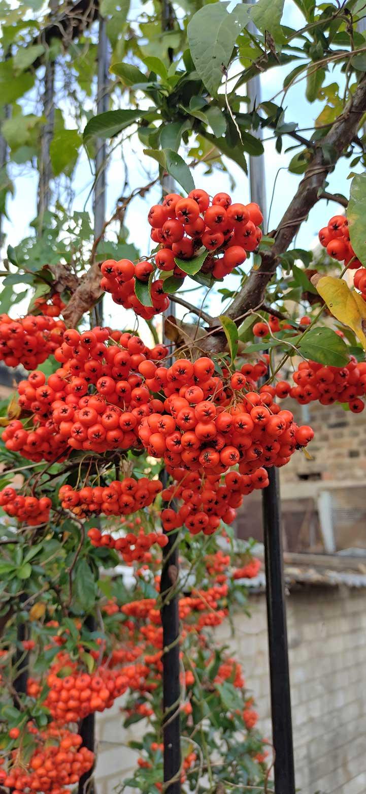 berries on vine
